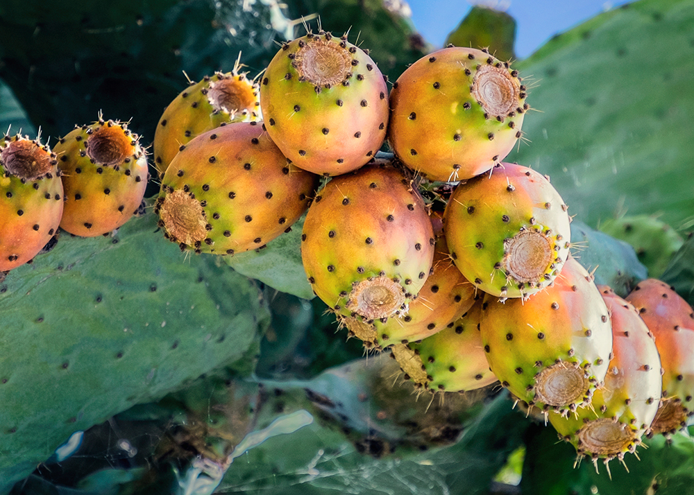 Prickly Pear cactus Trujillo Spain